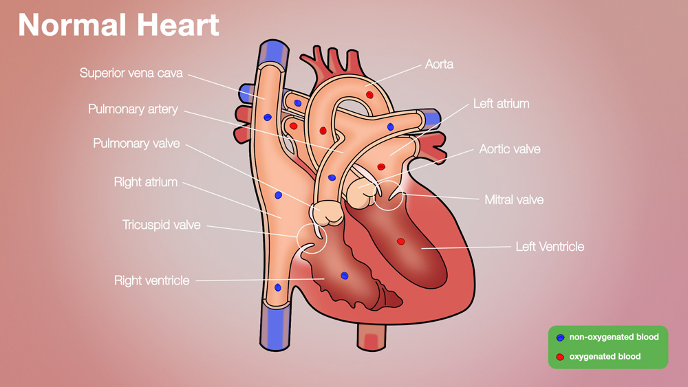 Normal Anatomical Heart